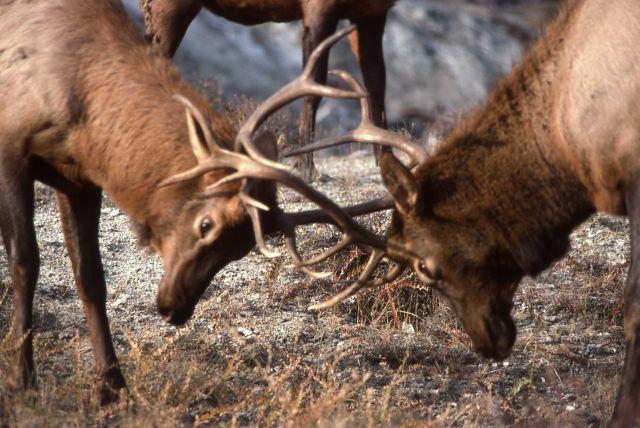 Bull elk sparring Picture