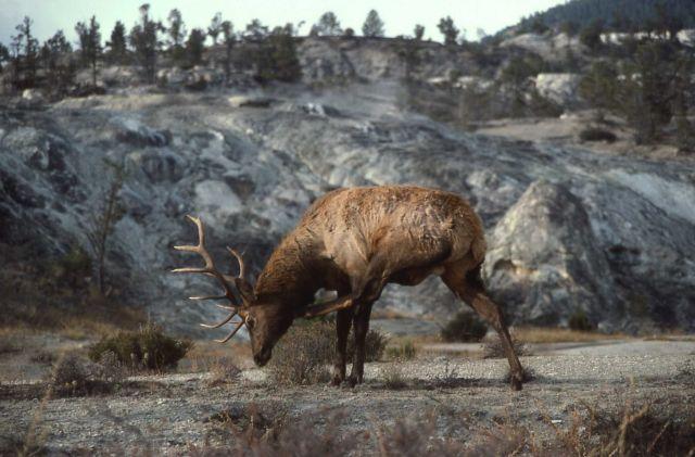 Bull elk scratching Picture