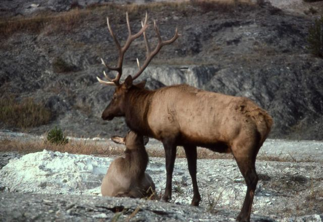 Bull & cow elk Picture