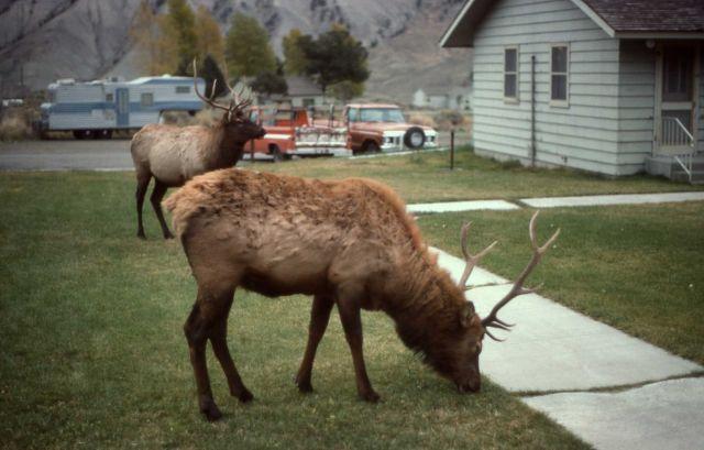 Elk in yard Picture