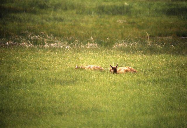 Elk calves Picture