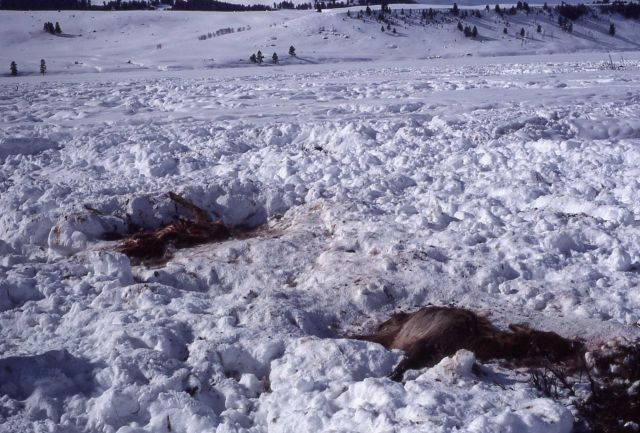 Elk carcass in snow Picture