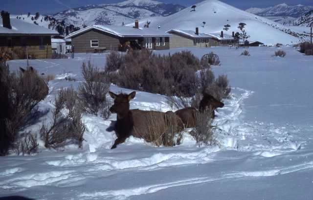 Elk in lower Mammoth in winter Picture