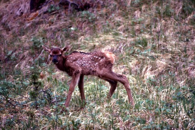 Elk fawn Picture