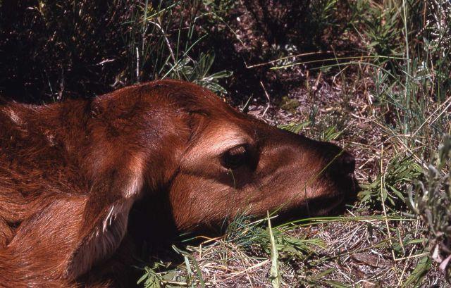 Elk calf a few days old Picture