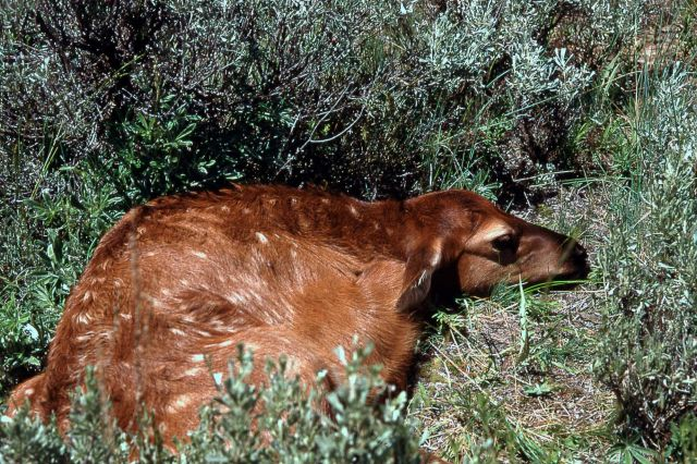 Elk calf a few days old Picture