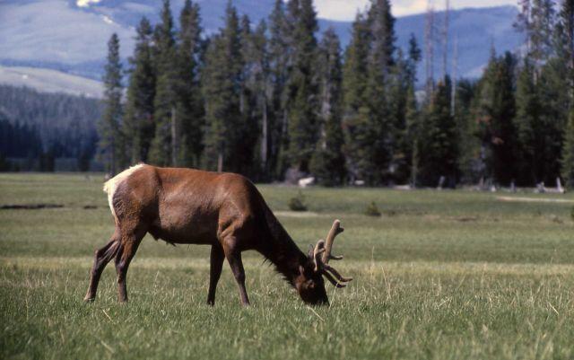 Bull elk Picture