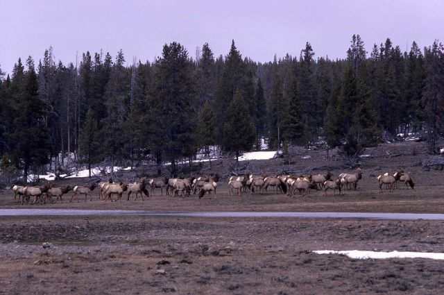 Elk near Fountain Flats Picture