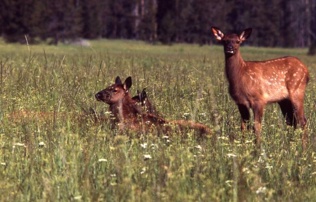 Young elk Picture