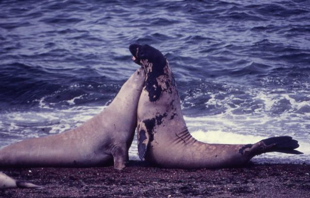 Sea elephants Picture