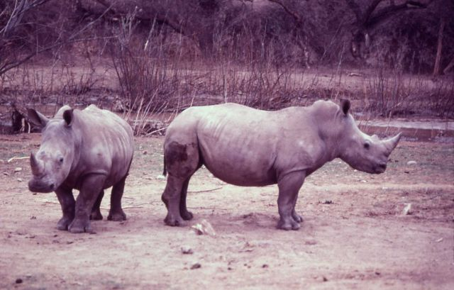 White rhinoceros Picture