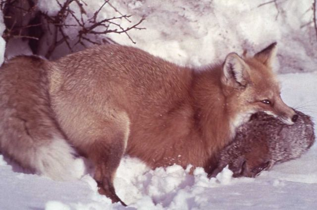 Red fox in the snow Picture