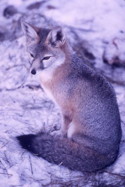 Kit fox Picture