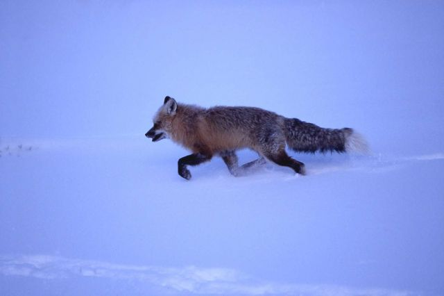 Red fox at Soda Butte Picture