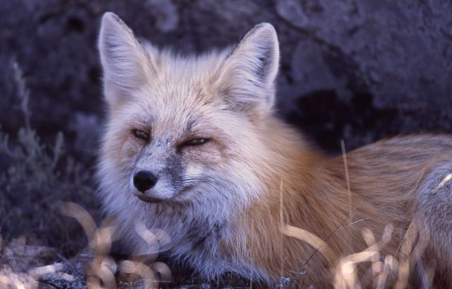 Close up of red fox face east of Phantom Lake Picture
