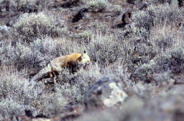 Red fox east of Phantom Lake Picture
