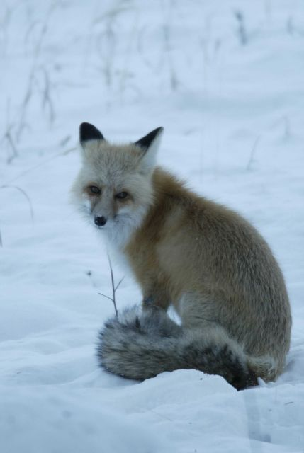 Fox sitting in snow in Lamar Canyon Picture