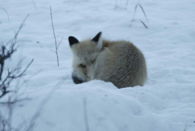 Fox curled up in snow in Lamar Canyon Picture