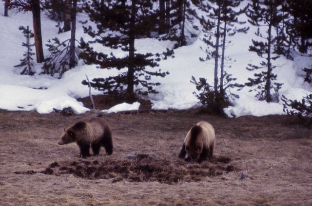 Grizzly bears Picture