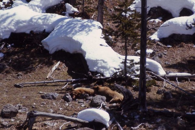 Two grizzly bears sleeping near snow Picture