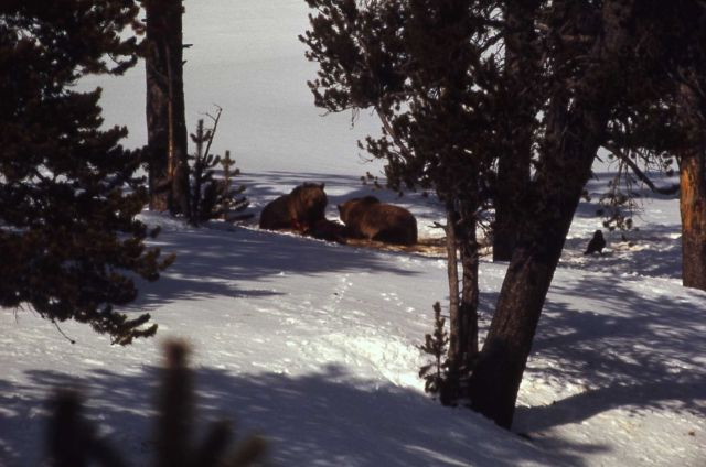 Two grizzly bears on an elk carcass Picture