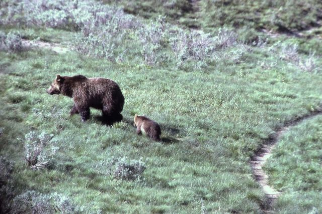 Grizzly bear sow & cub Picture