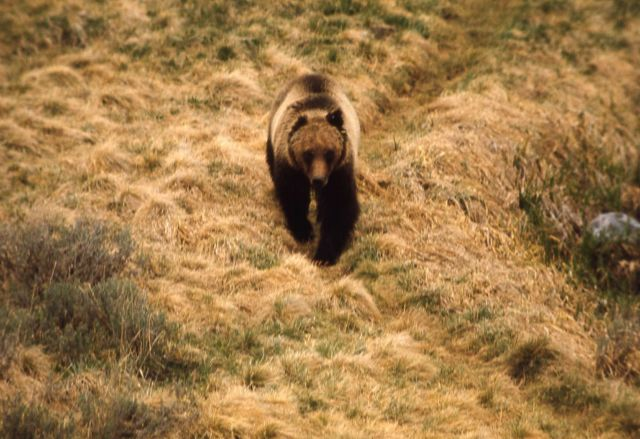 Grizzly bear Picture