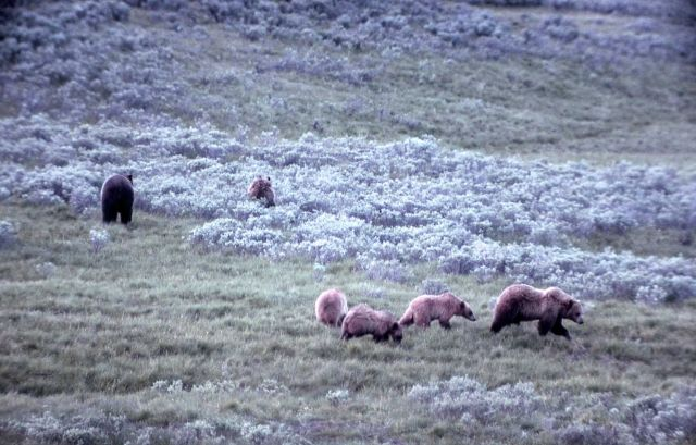 Six grizzly bears in Hayden Valley Picture