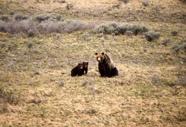Grizzly bear sow & cubs Picture