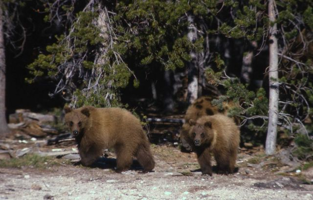 Yearling grizzly bears Picture