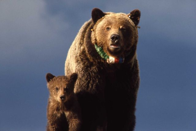 Grizzly bear sow & cub with radio neckband Picture