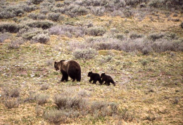 Grizzly bear & cubs Picture
