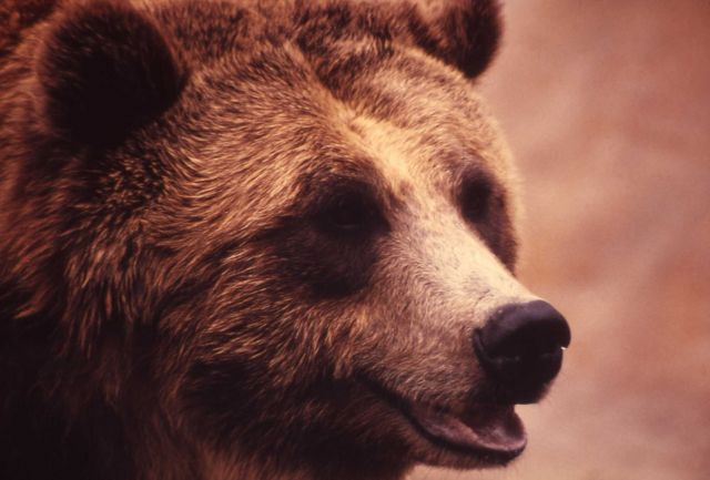 Face of grizzly bear Picture