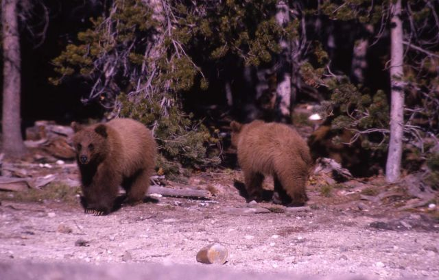 Two yearling grizzly bears Picture