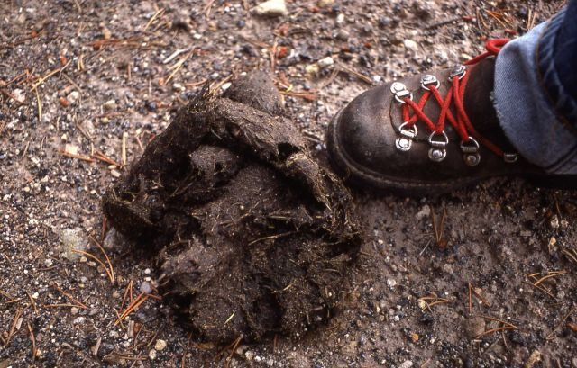 Grizzly bear scat Picture