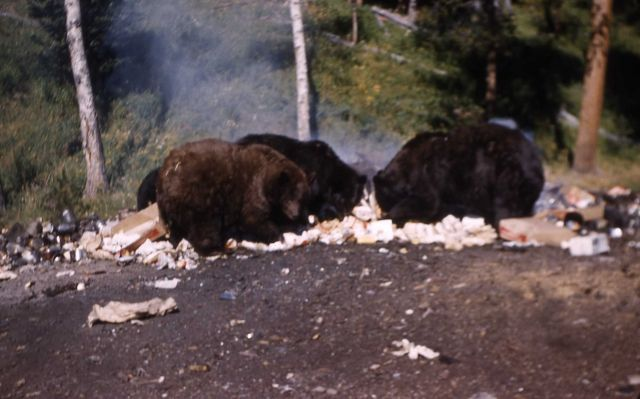 Grizzly bears at Tower Falls dump Picture