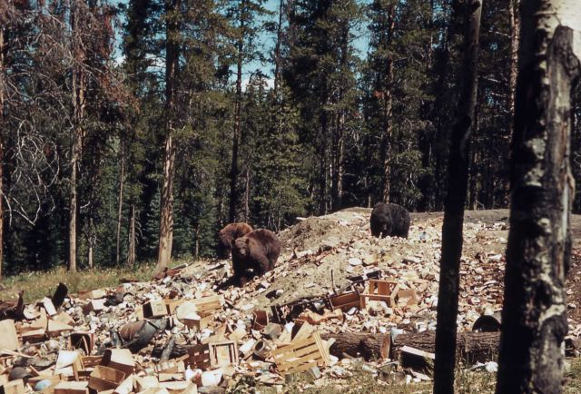 Grizzly bears rummaging in the Old Faithful dump Picture