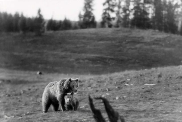 Grizzly bear sow & cub near Lake Yellowstone Picture
