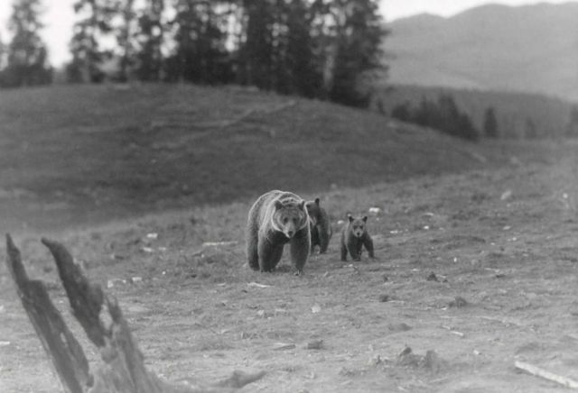 Grizzly bear sow & cubs near Lake Yellowstone Picture