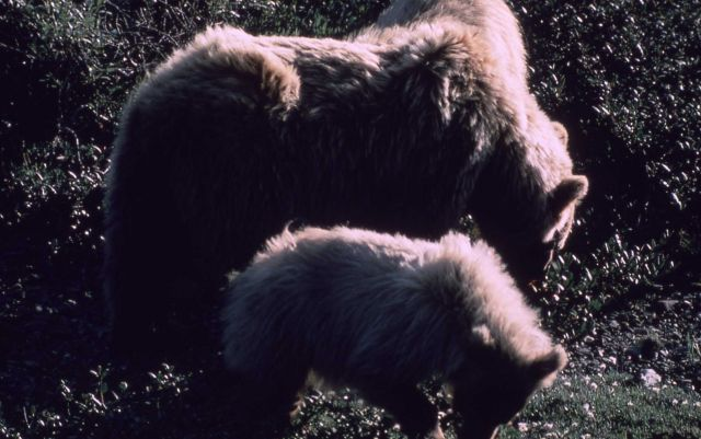 Grizzly bear sow & two cubs Picture