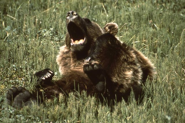 Grizzly bear yawning Picture