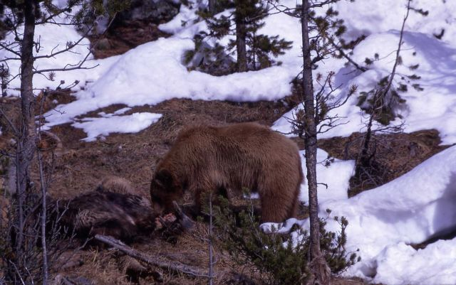 Two year old grizzly bear on elk carcass Picture