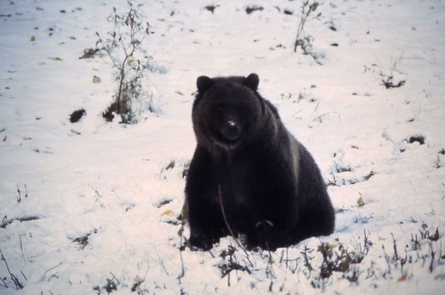 Grizzly bear on snow Picture