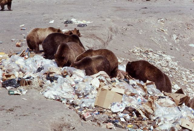 Ten grizzly bears in Trout Creek dump Picture