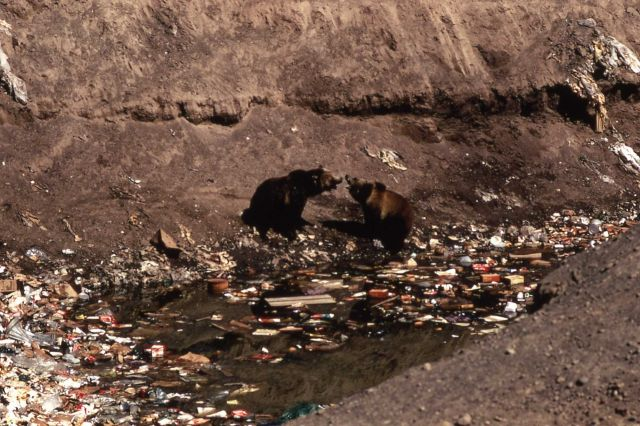 Two grizzly bears growling in Trout Creek dump Picture