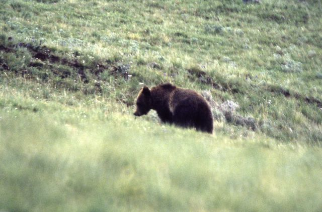 Grizzly bear sow in Dunraven Pass area Picture
