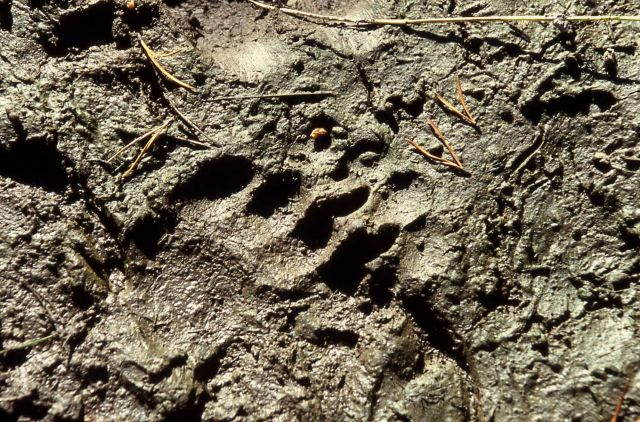 Grizzly bear track in mud Picture