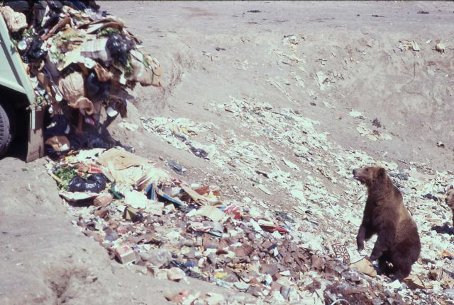 Grizzly bear standing on hind legs while garbage truck is unloading garbage at the Trout Creek dump Picture