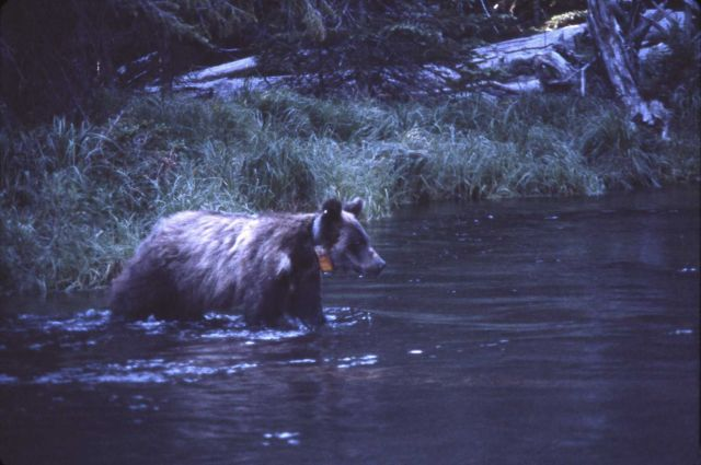 Grizzly bear crossing Clear Creek Picture