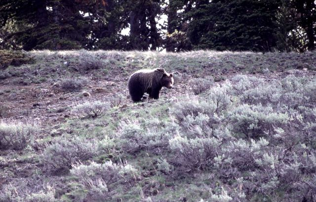 Grizzly bear on slope between Cub Creek & Clear Creek Picture